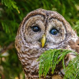 I'm watching you... by Myra Brizendine Wilson - Animals Amphibians ( bird, birds of prey, nature, nc, owl, charlotte raptor center, wildlife, animal,  )