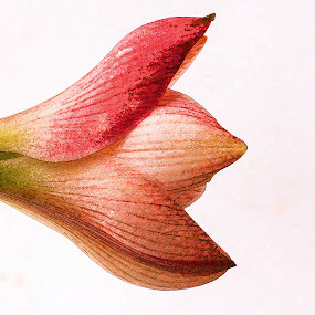 Amaryllis lily bud  by Susan Van Wyk - Flowers Flower Buds ( red, lily, opening, bud )
