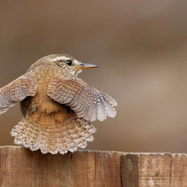 Spread those tiny wings by Ray Watson - Animals Birds ( #nature, #birds, #gardenbirds, #wren, #wildlife )