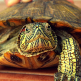 Hello! by Arpan Sarkar - Animals Reptiles ( #tortoise #nature #colors #,  )