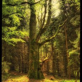 primeval forest by Petr Klingr - Landscapes Forests ( hdr trees forest spring )