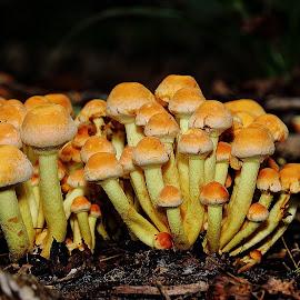 Mycète de touffe de soufre (fasiculare de Hypholoma) by Gérard CHATENET - Nature Up Close Mushrooms & Fungi