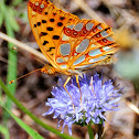 Queen of Spain Fritillary; Sofia