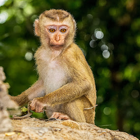 by Charliemagne Unggay - Animals Other Mammals ( baby, young, animal, monkey )