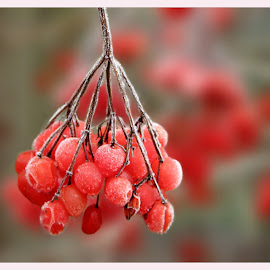 berries by Sue Rickhuss - Nature Up Close Other plants