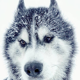 by Telma Eldrún Dögg Long - Animals - Dogs Portraits ( winter, dogs, wolf, snow, beauty, dog )