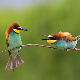 Bla, bla, bla... by Blaž Ocvirk - Animals Birds ( merops apiaster )