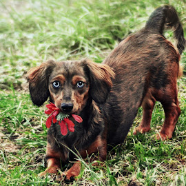 Take it from me I dare you by Terri Cox - Animals - Dogs Playing ( playful, dachshund, long, haired, eyes, silly, dapple, daschund, long-haired, blue, puppy, brown, dog, hair )