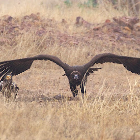 Big Dad Small Dad by Gayatri Pimple - Animals Birds ( birds of prey, nature, bird photography, bird, birds, take off, vulture )