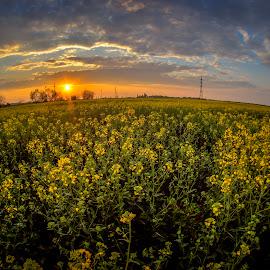 beginning of summer by Croitoru Constantin - Landscapes Sunsets & Sunrises ( sunset, summer, sun, rape, colours )