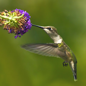 Ruby Throated Hummingbird by Herb Houghton - Animals Birds ( ruby throated hummingbird, hummingbird, herbhoughton.com, songbird, hummer, animal, motion, animals in motion, pwc76 )