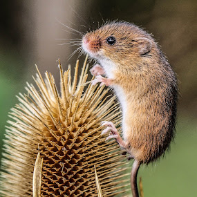 Mouse by Garry Chisholm - Animals Other Mammals ( mice, nature, harvest mouse, rodent )