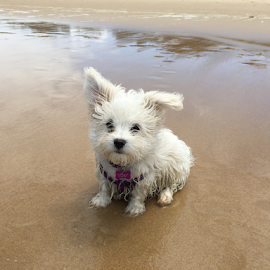 First day at the beach by Chrissy Almaraz - Animals - Dogs Puppies