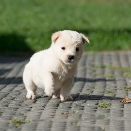 by Laura-Ioana Taranu - Animals - Dogs Puppies