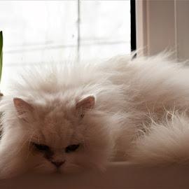The Aristroc(r)at by Marton Rakhel - Animals - Cats Portraits ( love, cat, persian, white, lady, beauty )