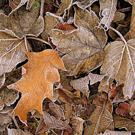 frosty morn by Sue Rickhuss - Nature Up Close Leaves & Grasses