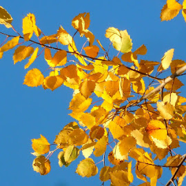 Leaves of Gold by Kimberly Morehouse - Nature Up Close Trees & Bushes
