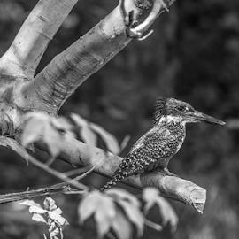 Kingfisher by Garry Chisholm - Black & White Animals ( africa, nature, bird, kotu, gambia, kingfisher, garry chisholm )