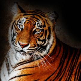 Tiger by Kusal Gautamadasa - Animals Lions, Tigers & Big Cats ( cat, bengal tiger )