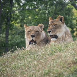 On a Hill by Eva Ryan - Animals Lions, Tigers & Big Cats ( cats, lion, pair, outdoors, oklahoma_city_zoo,  )