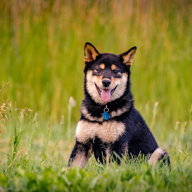 Posing Dexter by Chad Roberts - Animals - Dogs Puppies ( shiba inu, dexter, shiba, good dog, puppy, dog, posing, black and tan,  )