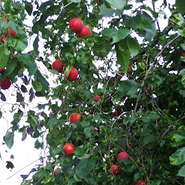 Plums by Sarah Harding - Novices Only Flowers & Plants ( plant, fruit, outdoors, novices only, garden )