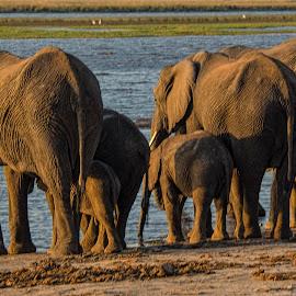 Time for a drink by Gene Myers - Animals Other Mammals ( shotsbygene, water, elephants, botswana, chobe river, family, wildlife, africa, gene myers,  )