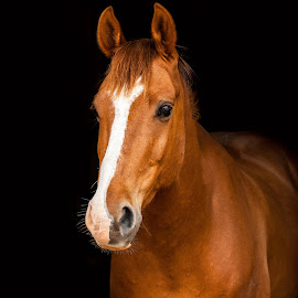 Arab x Irish Draught Head Portrait  by Vicki Roebuck - Animals Horses ( black background, equine portrait, chestnut, horses, arab, irish draught )