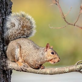 Squirrel in a tree by Debbie Quick - Animals Other Mammals ( debbie quick, nature, tree, nature up close, nature lovers, nature photoraphy, natures best shots, debs creative images, new york, national geographic, pleasant valley, wildlife photography, squirrel, animal photography, mammal, rodent, animal, wild, hudson valley, wildlife,  )