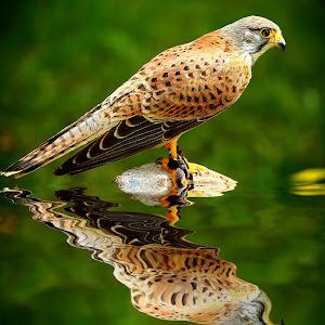 Faucon crecerelle.jpg