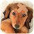 Dachshund Wallpaper file APK Free for PC, smart TV Download