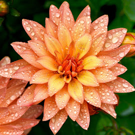 Wet Dahlia by Jim Downey - Flowers Single Flower ( orange, dahlia flower, yellow, dewy, open )