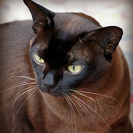 Brown Burmese Cat by Caroline Beaumont - Animals - Cats Portraits ( brown burmese cat )