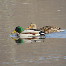 Mallards Duck from Loanwaka Brook, N.J. by Jen Henderson - Animals Birds (  )
