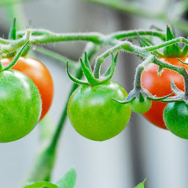 by Andre Brassard - Nature Up Close Gardens & Produce ( tomato, tomatoes, tomatoe, tomatos )