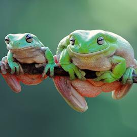 Big and Small by Andri Priyadi - Animals Amphibians ( animals, frog, nikkor, amphibian, amphibians, dumpy, dumpyfrog, macro, nikond90, indonesia, frogs, nikon, animal )