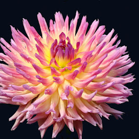 Pretty In Pink by Steve Edwards - Nature Up Close Flowers - 2011-2013 ( pink flower, flower closeup, flower,  )