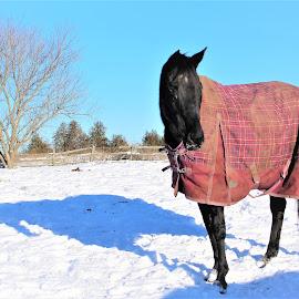 Ebony and her shadow by Linda    L Tatler - Animals Horses