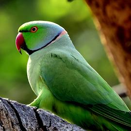 Rose Ringed Parakeet by Manoj Kulkarni - Animals Birds ( bird, rose, parakeet, nature, green, ringed, parrot, sanctuary, wildlife )