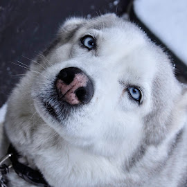 Angel by Christine May - Animals - Dogs Portraits ( potrait, winter, dogs, snow, husky, dog, photography, animal )