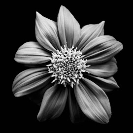 The Flower by Hitler Tombaan - Black & White Flowers & Plants ( heatlarx, nature, bw photography, larxleicaland, monochrome, black and white flower, black and white, larxart, flower )