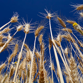 Wheat and blue skies by Denton Thaves - Nature Up Close Leaves & Grasses ( wheat heads )