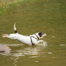 by Janet Matthews - Animals - Dogs Playing (  )