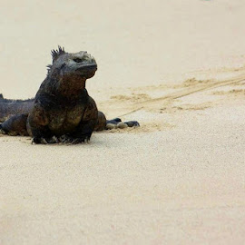 Marine Iguana on the beach by Karen Coston - Animals Reptiles ( unique, wildlife, marine iguana, galapagos islands, land and sea, profile pic )