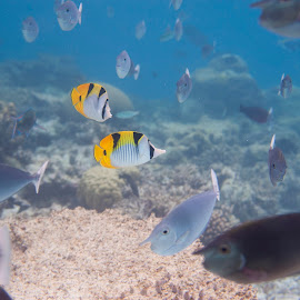 Lovers by Catalin Alexandru - Animals Fish ( underwater, fish, yellow, nose, maldives )