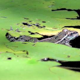 Lilly Frog by Jim Dicken - Animals Amphibians ( frog under lilly pad, lily pad frog, lily pad, lily pads, lilly pad )