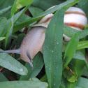 Milk Snail