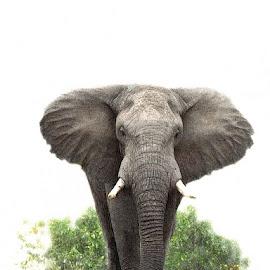 Colossus by Bjørn Borge-Lunde - Digital Art Animals ( wild animal, wilderness, nature, elephant, wildlife, africa, animal )