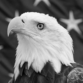 Portrait of a Bald Eagle (black and white) by Debbie Quick - Black & White Animals ( raptor, debbie quick, nature, brewster, educational bird, nature up close, bald eagle, stars, green chimney's, debs creative images, new york, american flag, national geographic, birds of prey, animal photography, bird photography, bird, eagle, animal, black and white, dutchess county )