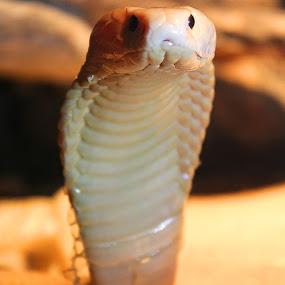 Wajah Tangguh by Erick Suminta - Animals Reptiles